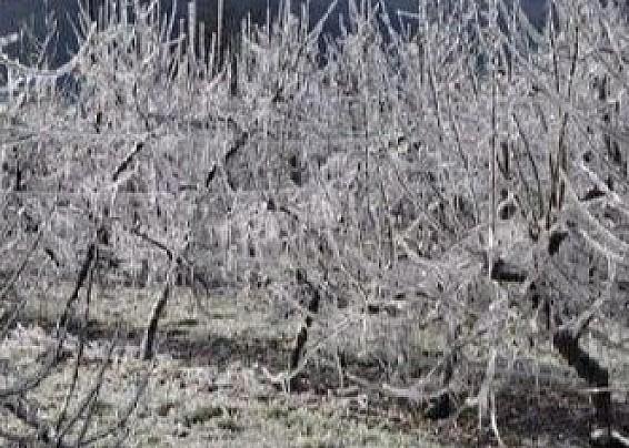 Segnalazione danni subiti dalle aziende agricole per effetto delle gelate del 7-8 aprile 2021